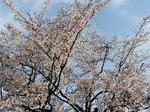 Sakura-4.jpg